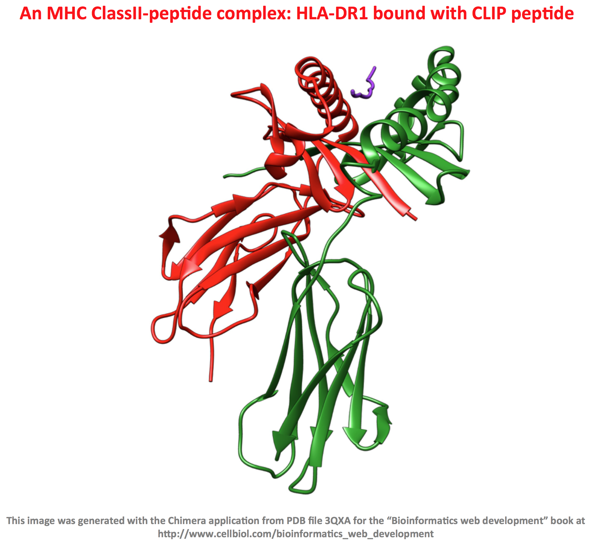 An MHC ClassII-peptide complex: HLA-DR1 bound with CLIP peptide
